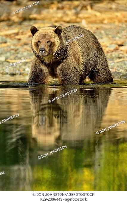 Grizzly bear (Ursus arctos)- Hunting for spawning salmon along the shoreline of a salmon river, Chilcotin Wilderness, BC Interior, Canada