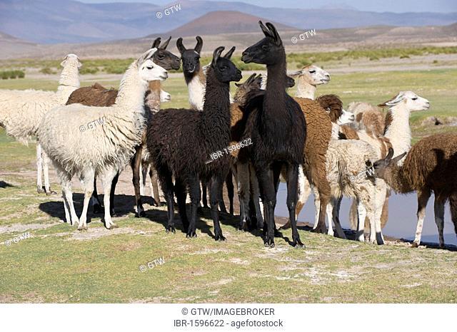Llama (Lama glama) herd, San Juan, Potosi, Bolivia, South America