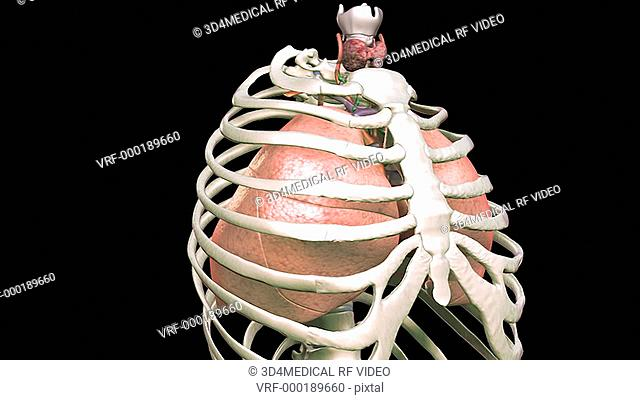 This animation depicts a zoom into the thorax showing the heart and lungs within the ribcage