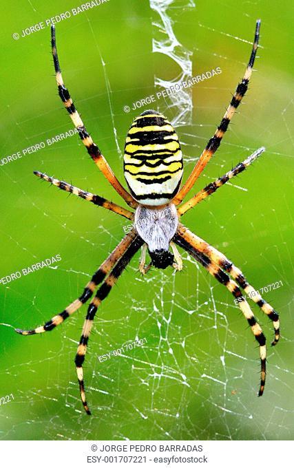 Argiope bruennichi spider eating