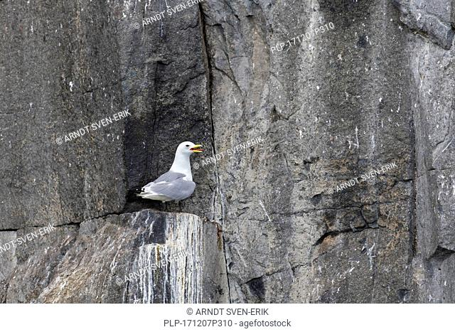 Black-legged kittiwake (Rissa tridactyla) calling from rock ledge in sea cliff face at seabird colony, Svalbard / Spitsbergen, Norway