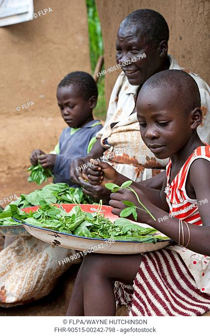 Family preparing green leaves and herbs for meal, Kenya, June