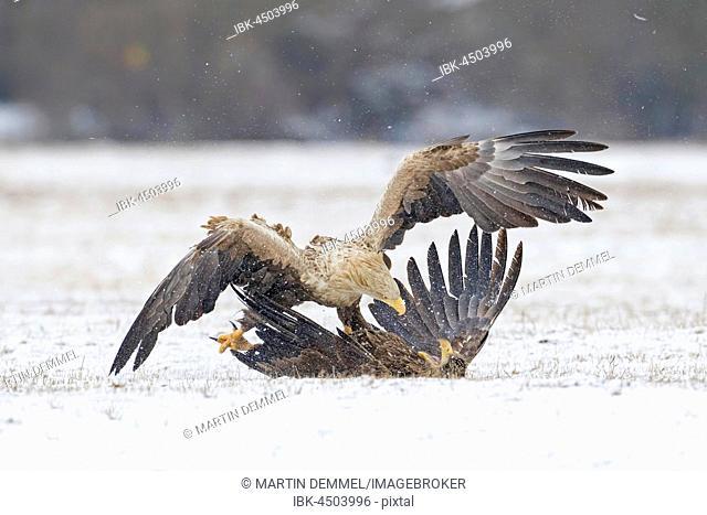 Two eagles (Haliaeetus albicilla), fighting in the snow, Gostyninsko-Wloclawski Park, Poland
