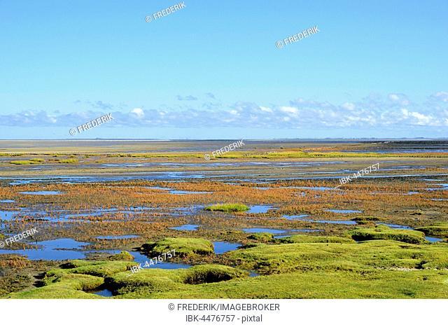 Glasswort (Salicornia europaea agg.) with autumn colors on salt marshes, Schleswig-Holstein Wadden Sea National Park, Westerheversand, North Frisia