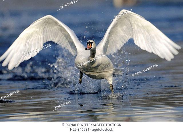 Mute Swan (Cygnus olor), Germany