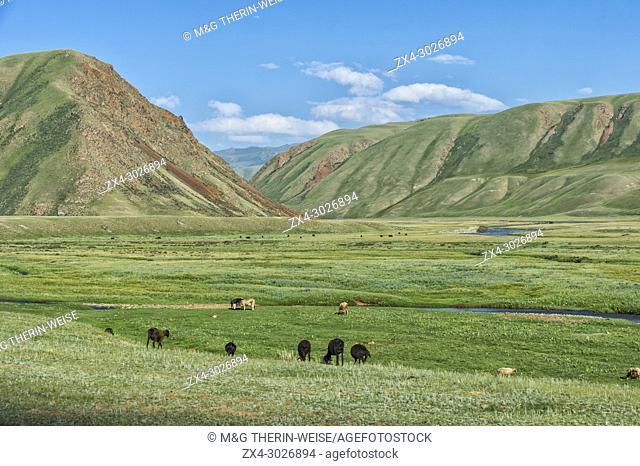 Sheep herd grazing along a mountain river, Naryn gorge, Naryn Region, Kyrgyzstan