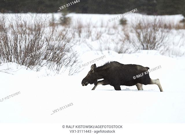 Moose / Elch ( Alces alces ), young bull in winter, shed antlers, walking through deep snow over a clearing, Yellowstone area, Grand Teton NP, Wyoming, USA