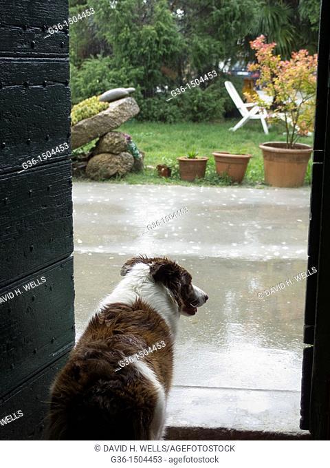 Dogs wait in the rain in Terra del Sole, Emilia-Romagna, Italy