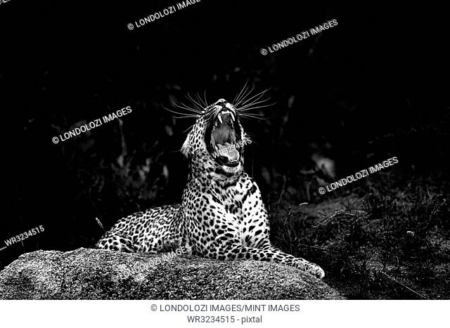 A leopard, Panthera pardus, lies on a boulder and yawns, mouth open showing teeth, head tilted back, long white whiskers, in black and white