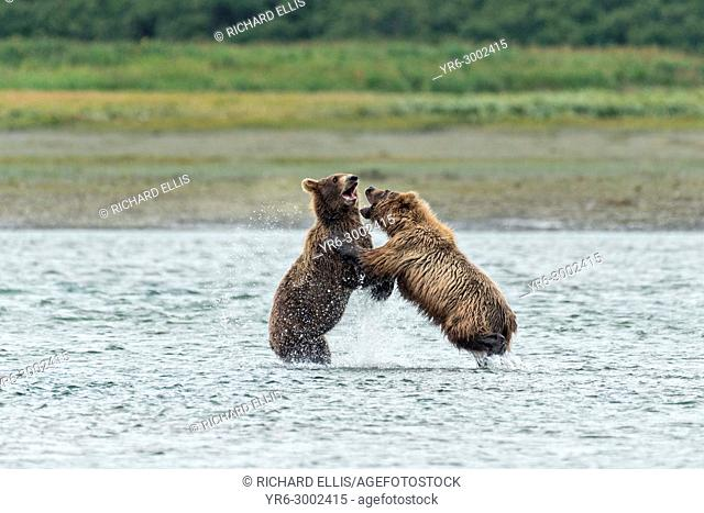 Brown bear sub-adults play fight along the lower lagoon at the McNeil River State Game Sanctuary on the Kenai Peninsula, Alaska