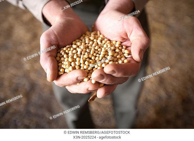 Hands Holding Soybeans. Poolesville Maryland USA