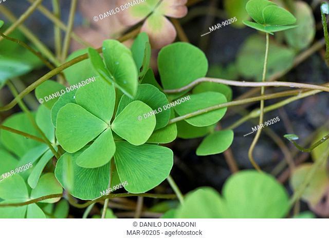 parolini gardens: marsilea quadrifolia, bassano del grappa, italy