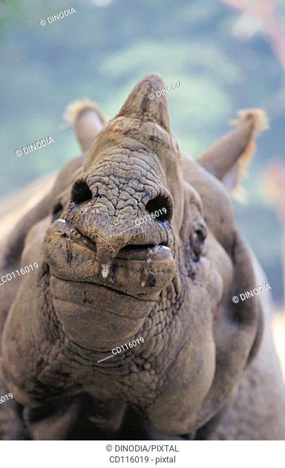 Rhino (Rhinoceros unicornis)