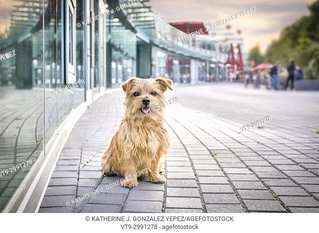 Norfolk Terrier in the city