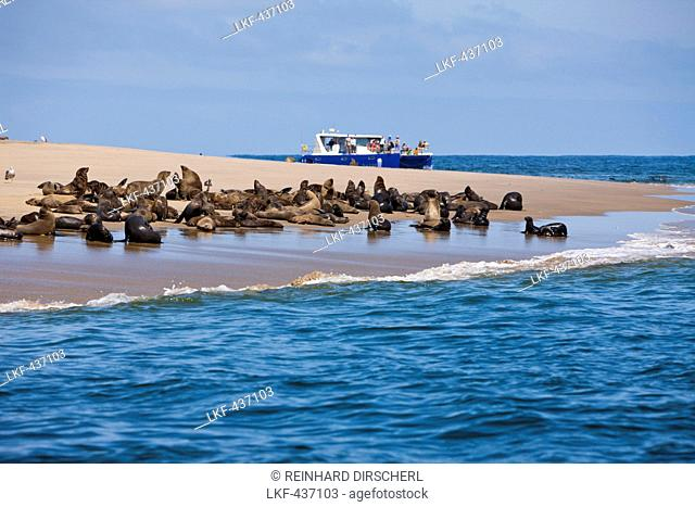 Cape Fur Seals, Arctocephalus pusillus, Walvis Bay, Namibia