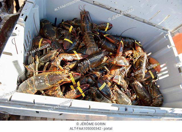 Freshly caught lobsters in container