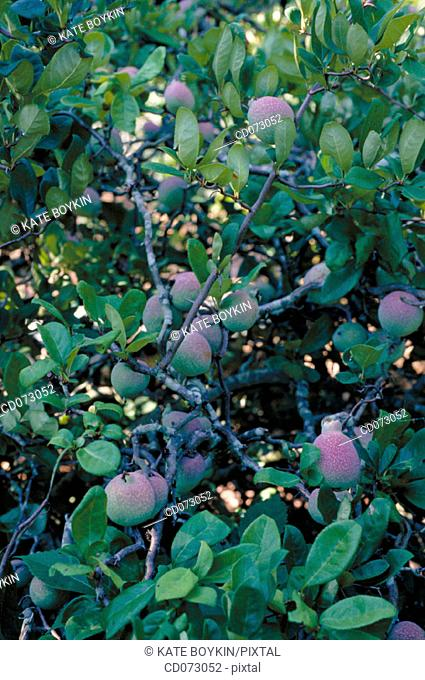 "Flowering Quince (Chaenomeles speciosa ""Contorta"")"