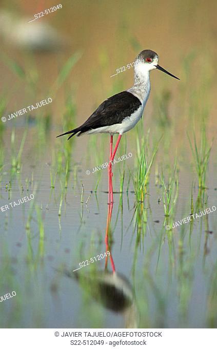 Black-winged Stilts (Himantopus himantopus). Marjal del Moro, marshes landscape. Sagunt. Valencia province, Spain