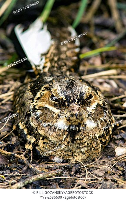 Common Pauraque (Nyctidromus albicollis) - Camp Lula Sams, Brownsville, Texas, USA