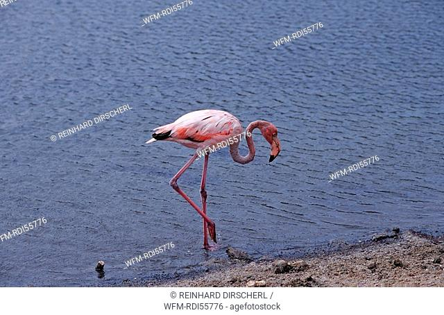 Caribbean flamingo, Phoenicopterus ruber ruber, Washington Slagbaai National Park, Salina Slagbaai, Netherlands Antilles, Bonaire
