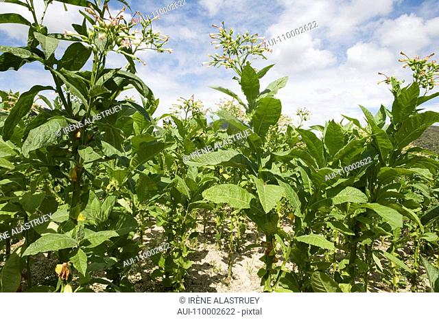 Dominican Republic - Centre - The Cibao - Tobacco Valley - Plantation - Tobacco flower