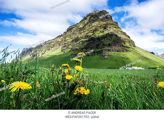 Iceland, dandelion on meadow at volcano Eyjafjallajokull