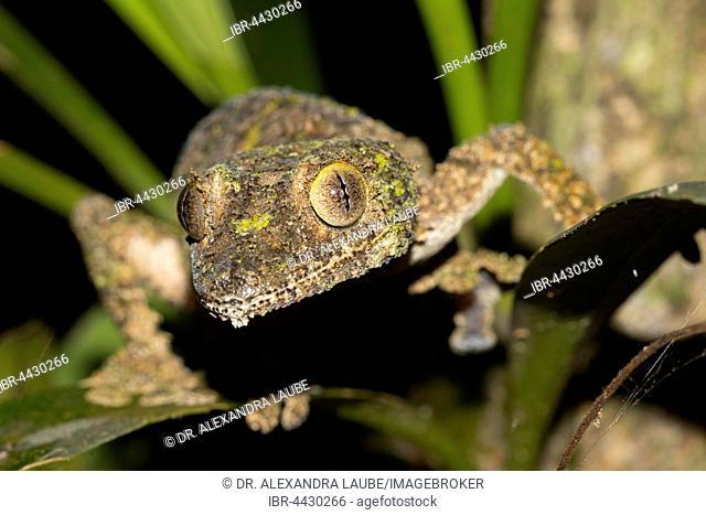 Mossy leaf-tailed gecko (Uroplatus sikorae) on leaves, females, in the rainforest of Andasibe, eastern Madagascar, Madagascar