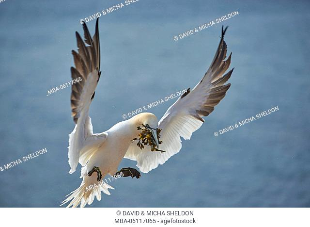 Gannets, Morus bassanus, at the side, fly, nesting material, Heligoland
