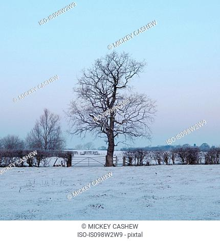 Bare tree in winter field, Woodford, Cheshire, UK