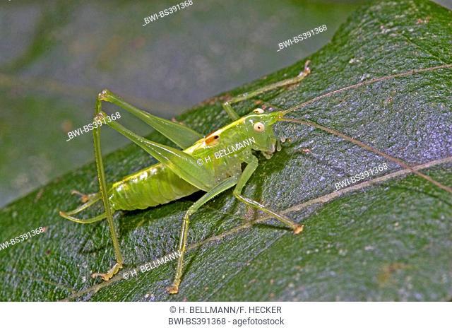 Southern oak bush-cricket, Southern oak bush cricket (Meconema meridionale), male, Germany