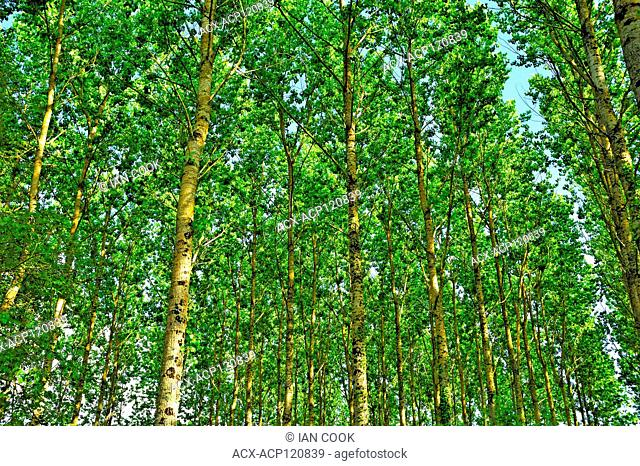 poplar forest near Serres-et-Montguyard, Dordogne Department, Aquitaine, France