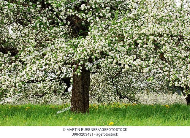 Apple tree in blossom close up, springtime. Baden-Württemberg, Lake Constance Region, Germany