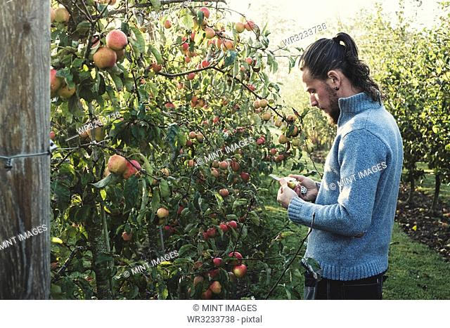 Man standing in apple orchard, picking apples from tree. Apple harvest in autumn