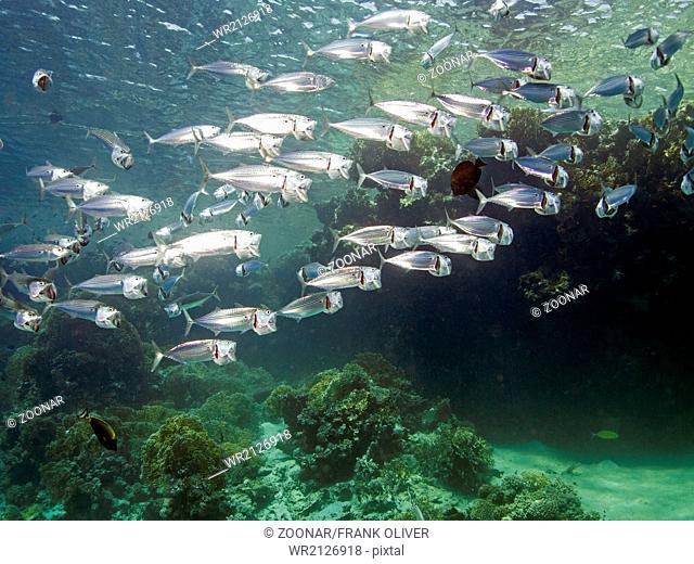 Indian mackerel (Rastrelliger kanagurta)