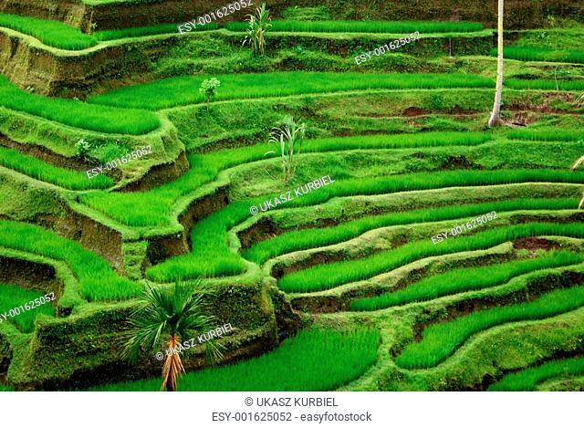 Rice field, Bali, Indonesia