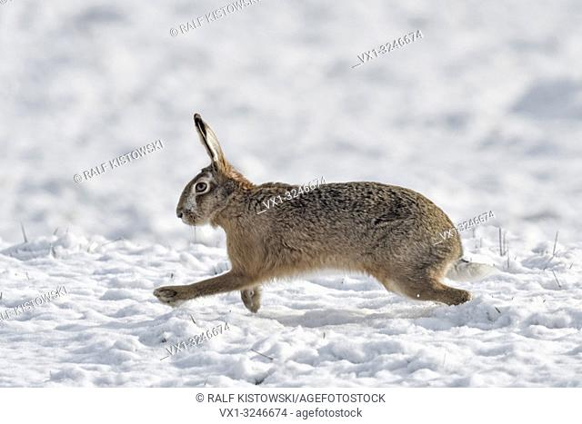 Brown Hare / European Hare / Feldhase ( Lepus europaeus ) in winter, running over snow covered farmland, side view, wildlife, Europe