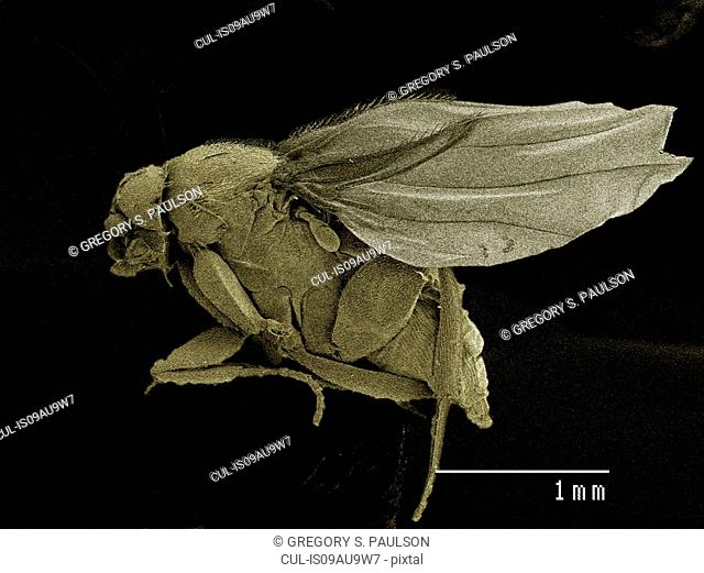Coloured SEM of small fly (Scatopsidae, Diptera)