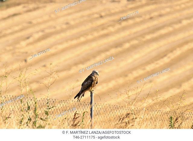 Black kite (Milvus migrans). Campo de San Pedro, Segovia province, Spain