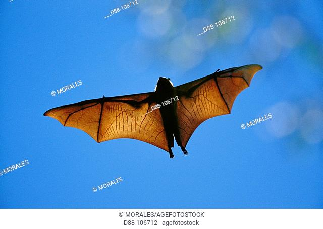 Madagascar Flying Fox (Pteropus rufus)
