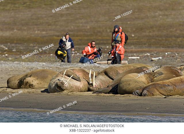 Photographers with adult male walrus Odobenus rosmarus rosmarus at Kapp Lee on the western side of Edge¯ya Edge Island in the Svalbard Archipelago in the...