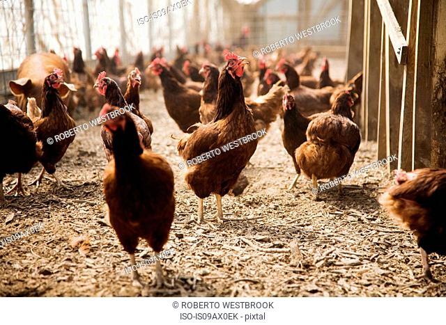 Chickens on farm