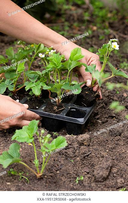 Woman replanting plants Stock Photos and Images | age fotostock