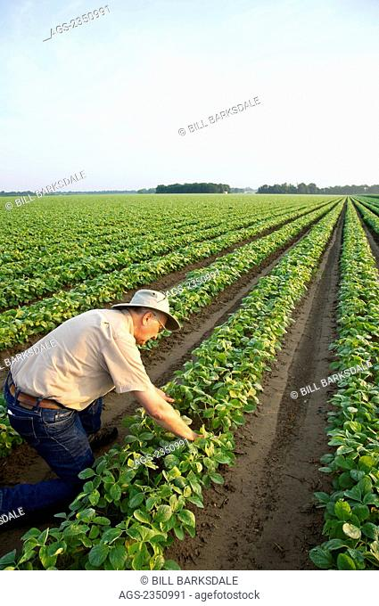 Agriculture - A farmer (grower) inspects his early growth crop of twin row soybeans, with two rows per bed, in early morning light / near England, Arkansas, USA