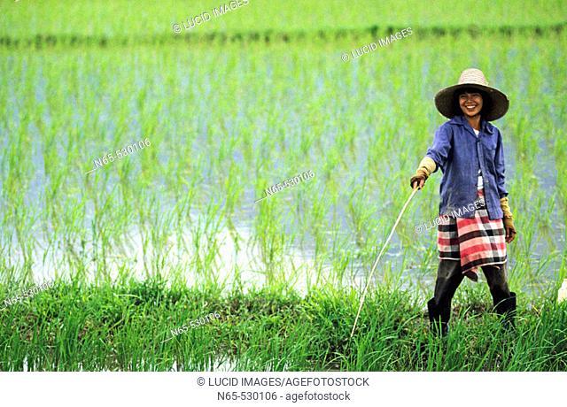 Rice farmer at rice paddy. North of Chiang Rai, on the road between Chaing Rai and Mae Sai. Northern Thailand