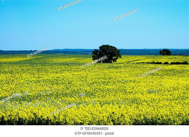 Yellow field of Rapeseed oil plants