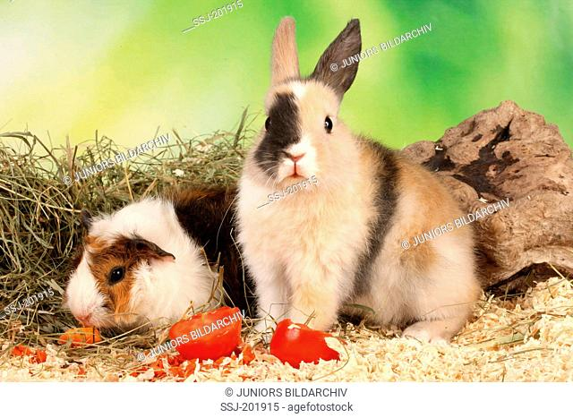 Dwarf Rabbit and to Cavie, Guinea Pig with tomatoes and carrots. Germany