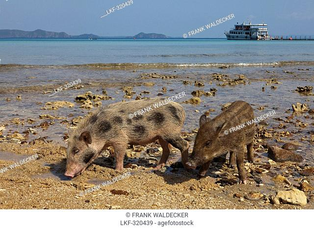 Young pigs on a beach of Koh Chang Island, Trat Province, Thailand, Asia