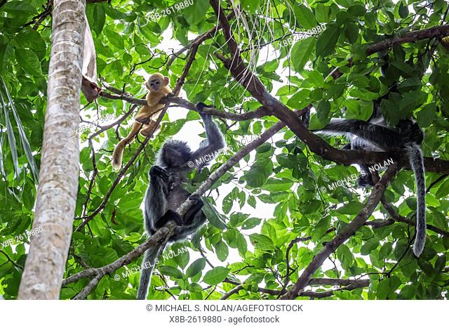 Adult silvery langur, Trachypithecus cristatus, mother with infant, Bako National Park, Borneo, Malaysia