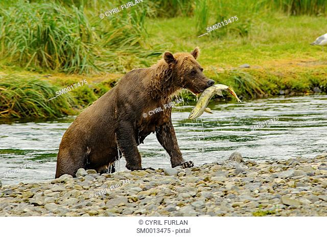 Grizzly emerging from stream with salmon in its mouth