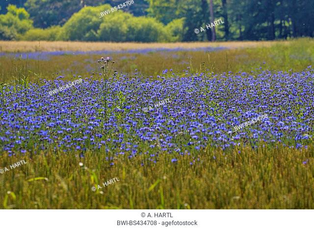 bachelor's button, bluebottle, cornflower (Centaurea cyanus), dense blooming cornflowers in a wheat field, Germany, Bavaria